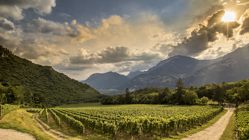 Ferrari Trento vineyards in the sun